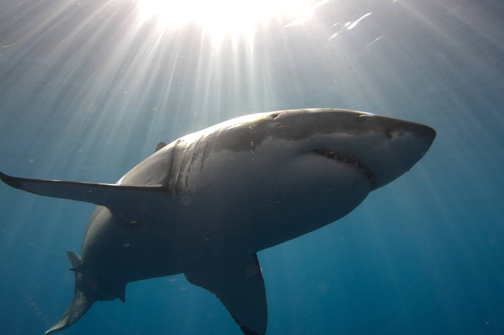 Great White Shark Week 2012 – Guadalupe Trip